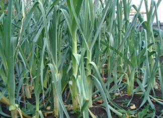 Лук-порей: выращивание из семян