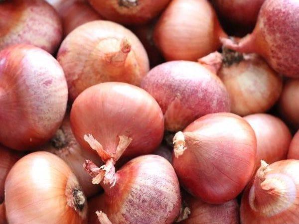 Лук шалот: выращивание