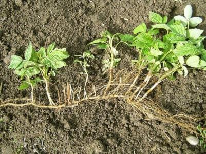 Малина: посадка, выращивание и уход за ягодой