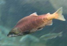 Минсельхоз включил кету и горбушу в перечень ценных видов рыбы