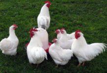 Московская белая порода кур