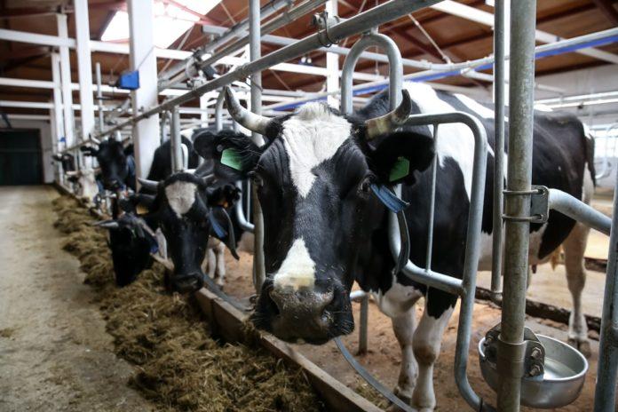 Новгородская область: В животноводческих хозяйствах региона растет производство