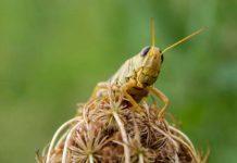 Новое приложение Maestro расскажет фермерам о приближении роя саранчи