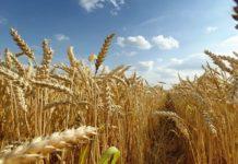 Оренбургских аграриев озадачили страхованием посевов