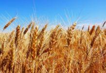 Пшеница на мировых рынках продолжает дорожать