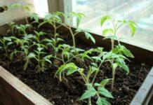 Рассада томатов: когда сеять и как выращивать