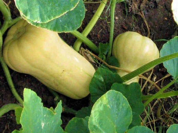 Рациональный подход к выращиванию тыквы Баттернат