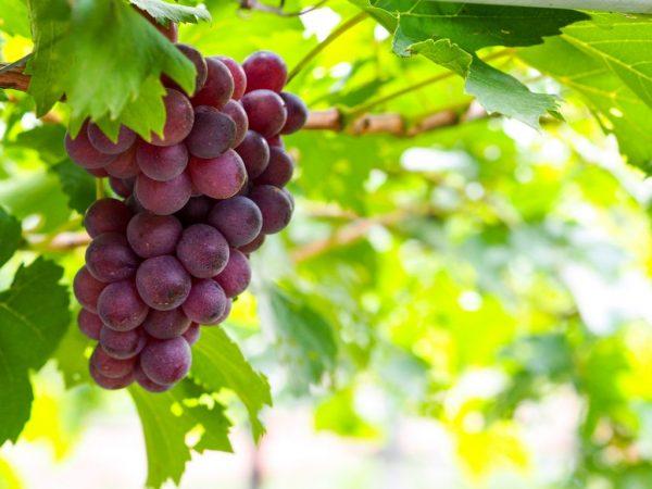 Черенки винограда осенью что с ними делать