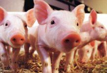 Россельхознадзор запретил поставки свиней из ЮАР и Кении