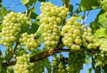 Россия запретила ввоз саженцев молдавского винограда
