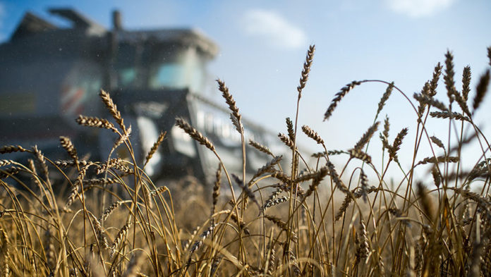 Российская пшеница обошла по стоимости нефть