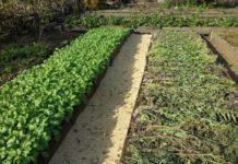 Сидераты для огорода: как сажать весной на даче