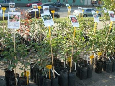 Слива: как правильно посадить и вырастить дерево