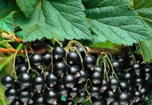 Смородина черная Ядреная: описание сорта и агротехника
