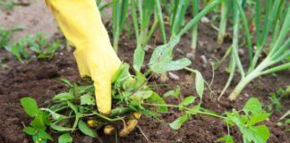 Сорняки в огороде: как избавиться от сорной травы