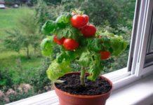 Сорта карликовых томатов