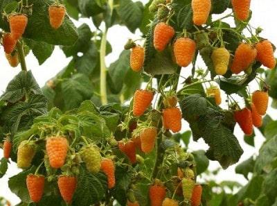 Сорта малины для разведения на дачном участке: ранние, средние и поздние