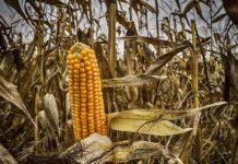 В чернобыльской зоне отчуждения обнаружены нелегальные поля кукурузы