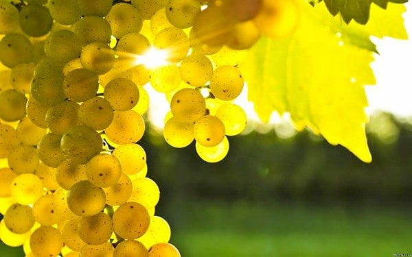 В Ингушетии делают ставку на виноград