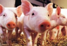 В Китае продолжают падать цены на свинину, взлетевшие из-за эпидемий