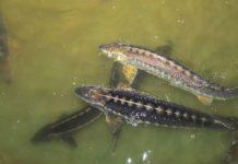 В моря и реки Краснодарского края выпустят 5 видов краснокнижных осетровых
