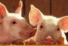 В Югре может исчезнуть собственная свинина