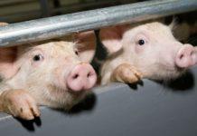Вспышка африканской чумы свиней зафиксирована на Кубани