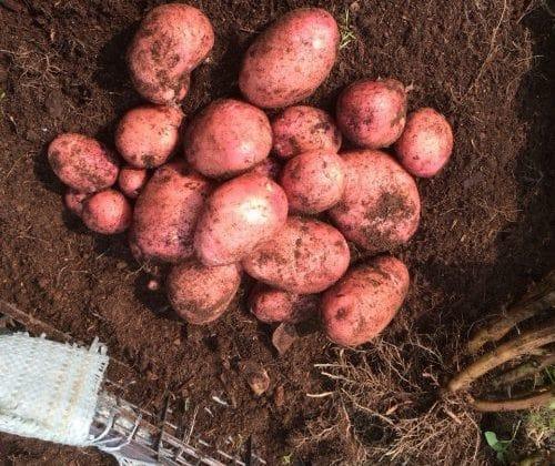 Выращивание картофеля в мешках: уход и сбор урожая