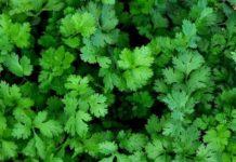 Выращивание кинзы (кориандра)
