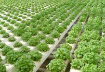 Выращивание мелиссы из семян