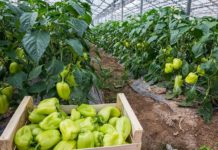 Выращивание перца в теплице из поликарбоната