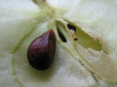 Выращивание яблони из косточки на даче