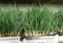 Выращивание зеленого лука на перо