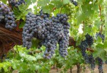 Законопроект о виноградарстве и виноделии внесен в Госдуму