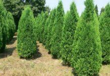 Западная туя виды и сорта дерева