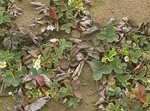Земляника сорта Кимберли — ранняя ягода дачного участка