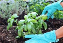 Как выращивать базилик на даче в открытом грунте
