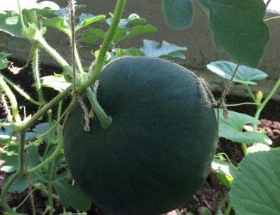 Как выращивать и ухаживать за арбузами