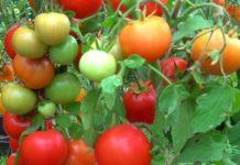Минсельхоз попросили временно ограничить импорт томатов