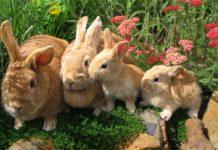 Определения пола кроликов