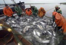 Росрыболовство продало на аукционах квоты на добычу рыбы и морепродуктов на 8,2 млрд руб.