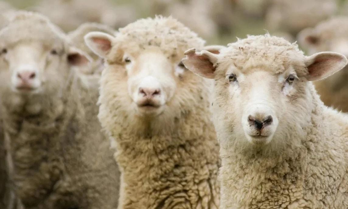 Белоруссия временно запретила ввоз овец и коз из Ивановской области