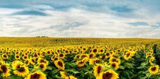 Что аграрии думают о новом фунгициде для подсолнечника и сои Протазокс