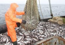 Итоги охотоморской путины: вылов минтая составил около 1,06 млн тонн - на 8% больше 2019 года