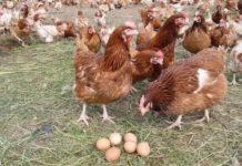 Яйценоские породы кур