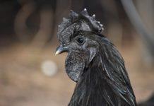 Экзотическая порода кур