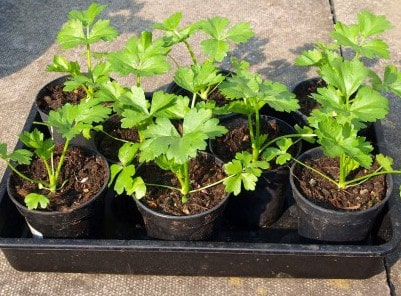Как вырастить корневой сельдерей в открытом грунте