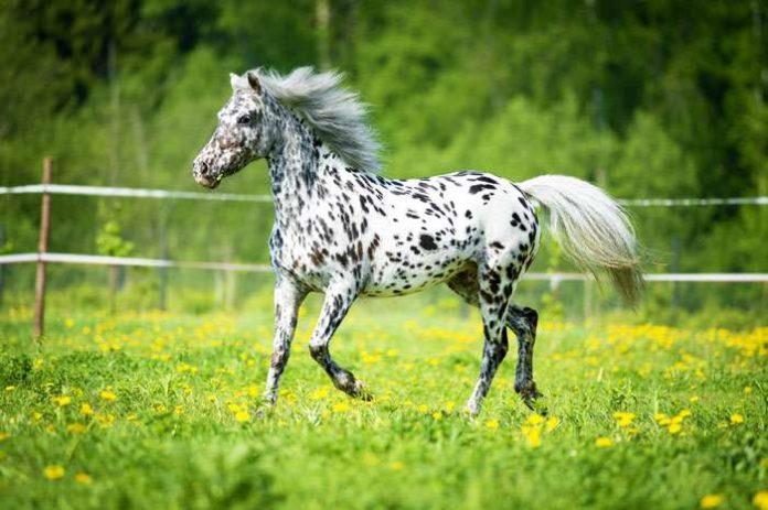 Лошади породы аппалуза