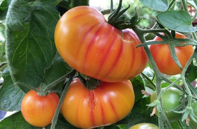 Лучшие сорта томатов: описание и характеристики