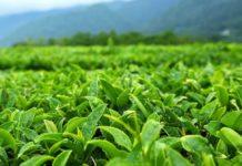 Мировые поставки чая находятся под угрозой